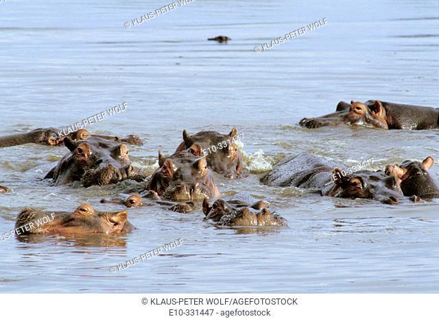 Hippos (Hippopotamus amphibius). Lake Baringo. Kenya