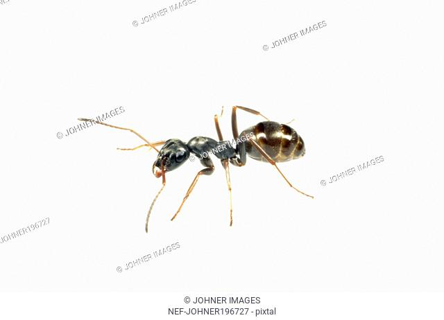 Ant against white background, close-up