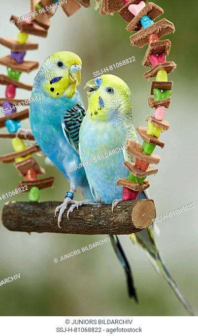 Rainbow Budgerigar, Budgie (Melopsittacus undulatus). Two adults perched on a multicolored toy swing. Germany