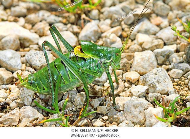 Large saw tailed bush cricket, Large saw-tailed bush-cricket (Polysarcus denticauda, Orphania denticauda), male, Germany