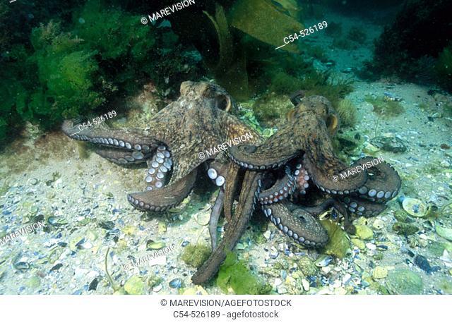 Octopus (Octopus vulgaris) courtship. Galicia, Spain