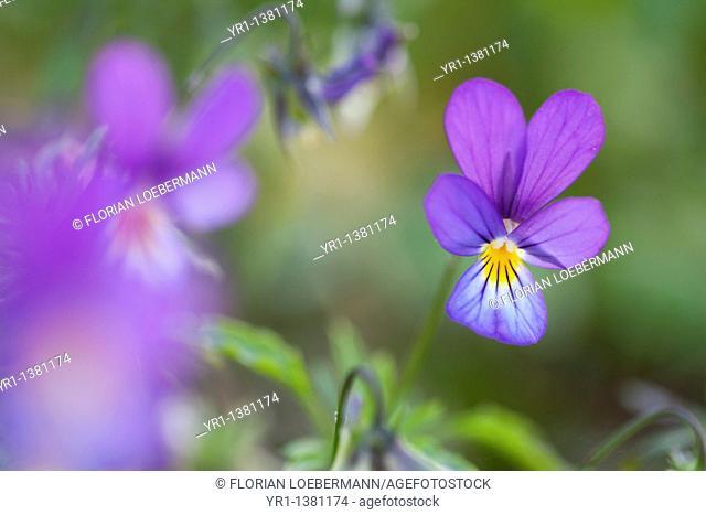 A close-up of a wild tricolor viola (violaceae)