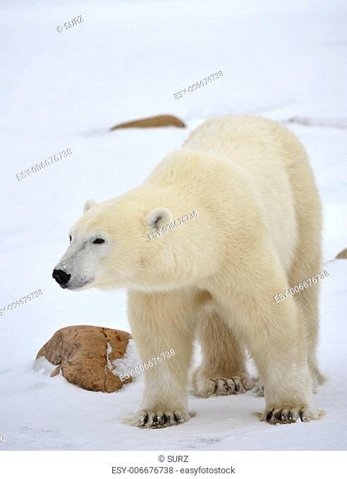 Portrait of a polar bear. Close up a portrait of a polar bear
