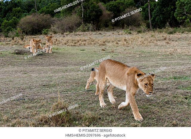 Kenya, Masai Mara, Lion (Panthera leo)