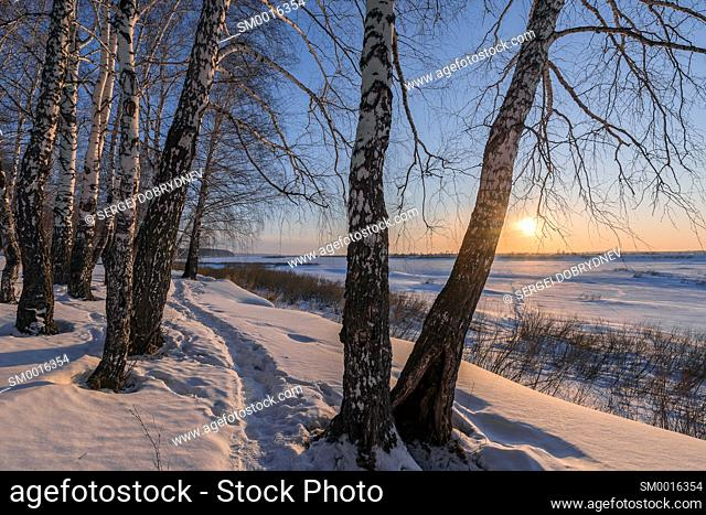 Birch trees on the edge of a snow-covered river valley on a winter evening