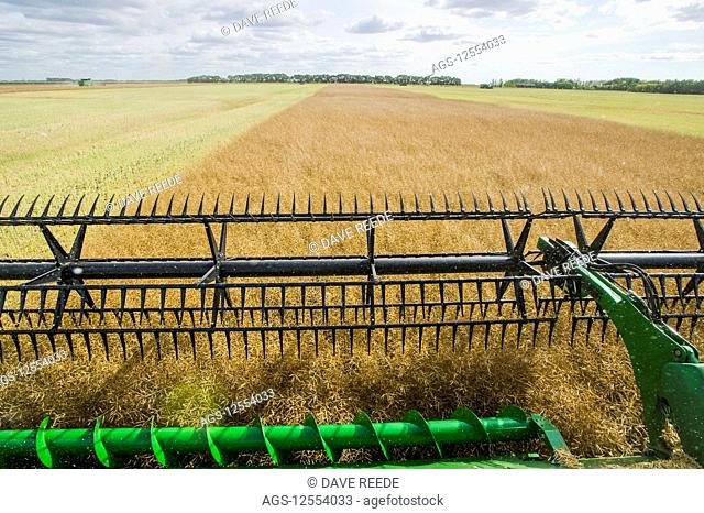 Close-up of a combine harvester header straight cutting in a mature standing field of canola during the harvest, near Niverville; Manitoba, Canada