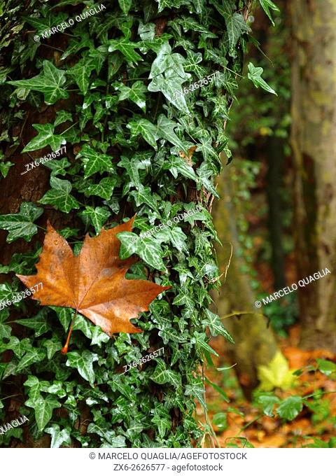 Ivy (Hedera helix) and plane tree leaf. Rainy autumn Campins village countryside. Montseny Natural Park. Barcelona province, Catalonia, Spain