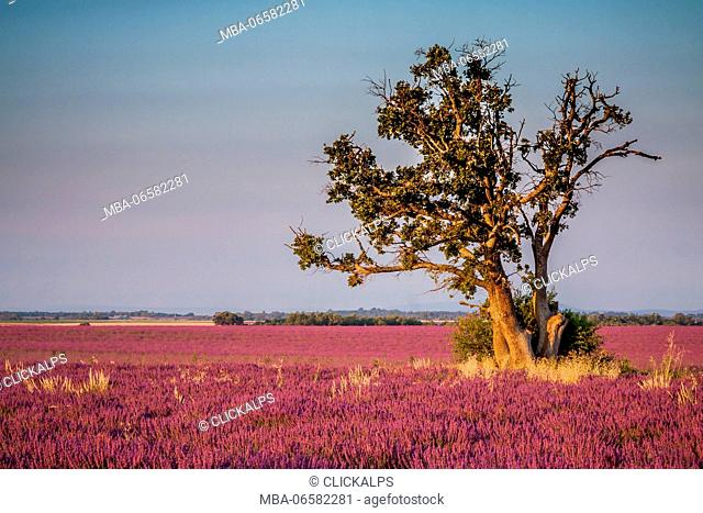 France, Provence Alps Cote d'Azur, Haute Provence, Plateau of Valensole, Lavender field in full bloom