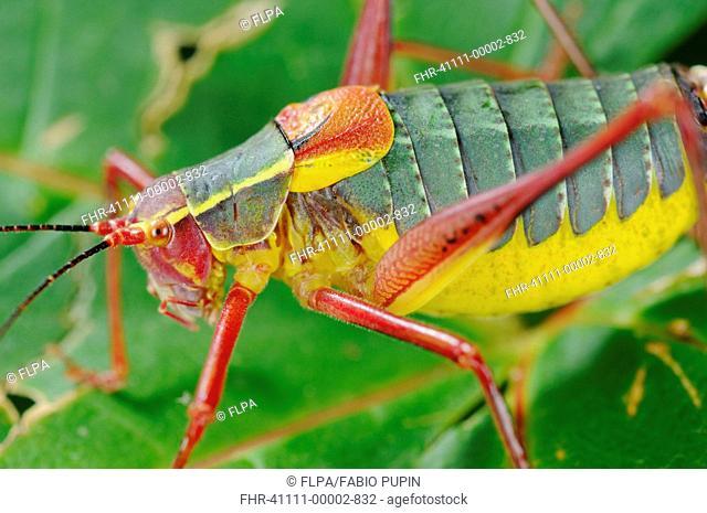 Bush-cricket Barbitistes onustus adult, close-up on leaf, Italy, july