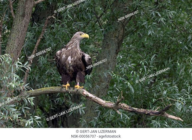 Dutch White-tailed eagle (Haliaeetus albicilla) Z663 perched on a branch, The Netherlands, Overijssel, Kampen, IJssel