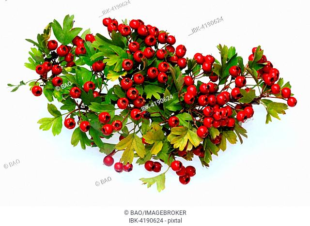 Ripe Common Hawthorn berries (Crataegus monogyna)