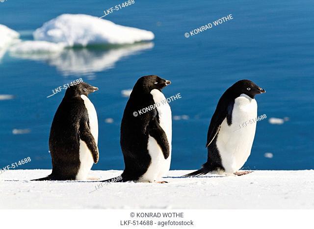 Adelie Penguins, Pygoscelis adeliae, Antarctic Peninsula, Antarctica