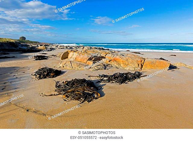 Many huge Bull kelp (Bullwhip kelp) washed ashore on Four Mile Creek beach in Tasmania, Australia