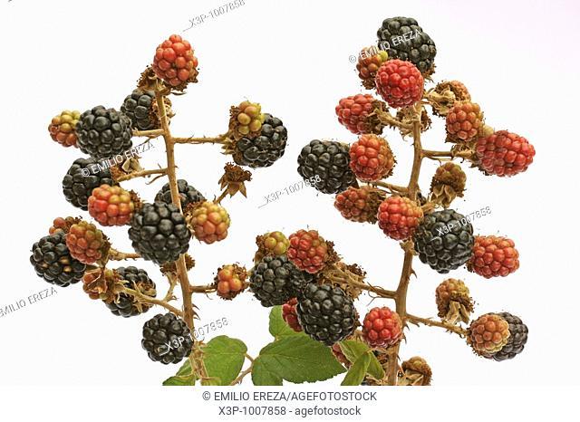 Blackberries Rubus fruticosus
