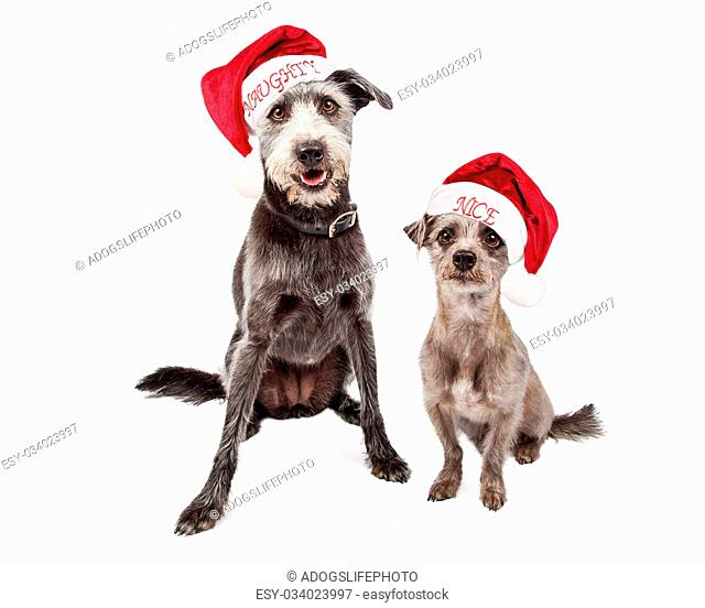 Two mixed breed grey color terrier crossbreed dogs of different sizes wearing naughty and nice Santa Claus hats