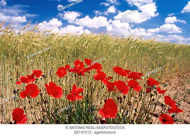 Poppies near Almansa. Albacete province, Castilla-La Mancha. Spain