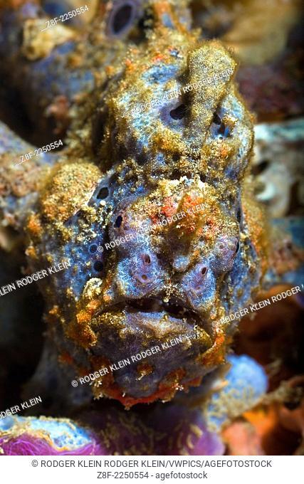 Frogfish, Ambon Bay Laha Divesite ( village name )