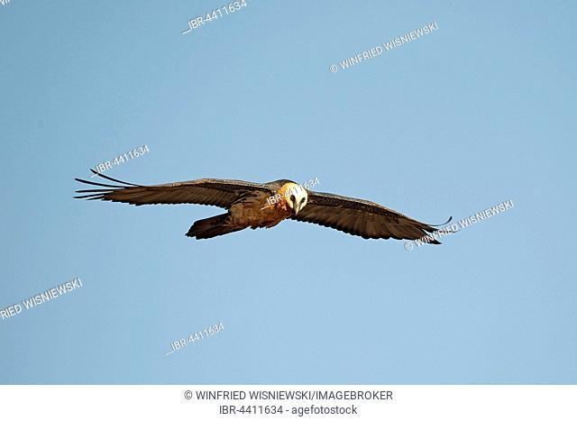 Bearded vulture in flight (Gypaetus barbatus), Giant's Castle National Park, Kwazulu-Natal, South Africa