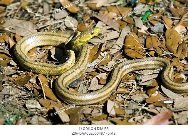 Yellow rat snake Elaphe obsoleta quadrivittata