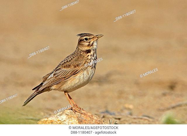 Crested Lark Galerida cristata  Order: Passeriformes Family: Alaudidae