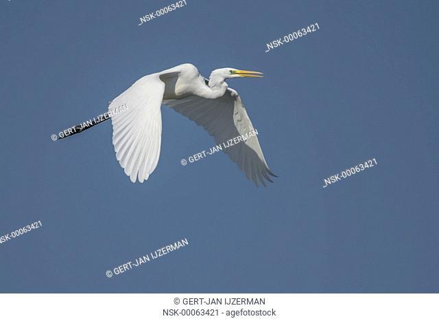 Great Egret (Ardea alba) in flight, The Netherlands, Flevoland, Ketelmeer