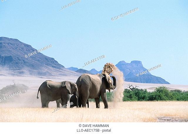 Elephant Herd - Dust Bathing  Damaraland District, Namibia, Southern Africa