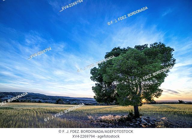 Isolated tree on wheat field. Monegros, Huesca, Aragón, Spain