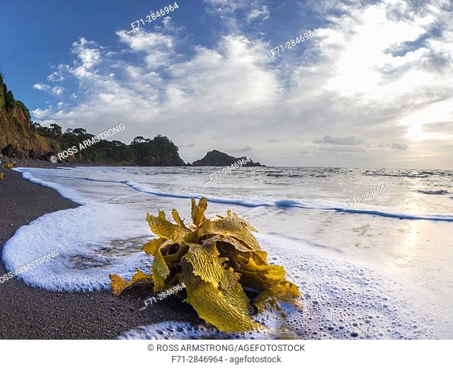 Waves washing kelp over beach at sunrise. Dolphin Bay, Tutukaka, Northland, New Zealand, South Pacific Ocean