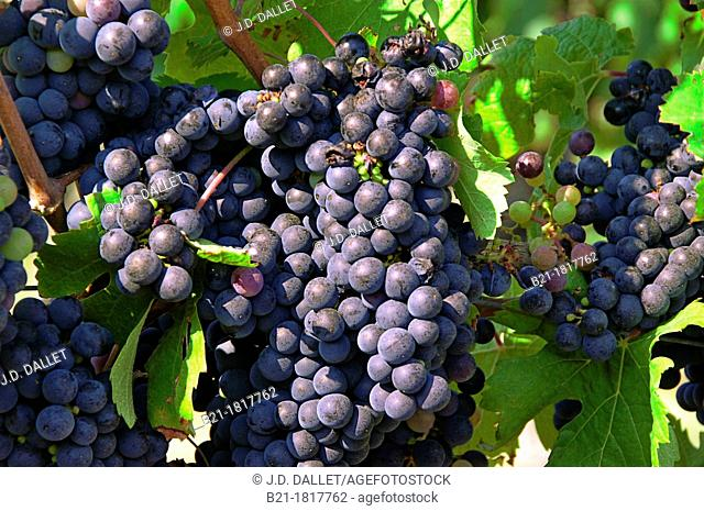 France, Aquitaine, Gironde,  'Merlot' wine fruits, Bordeaux wines area