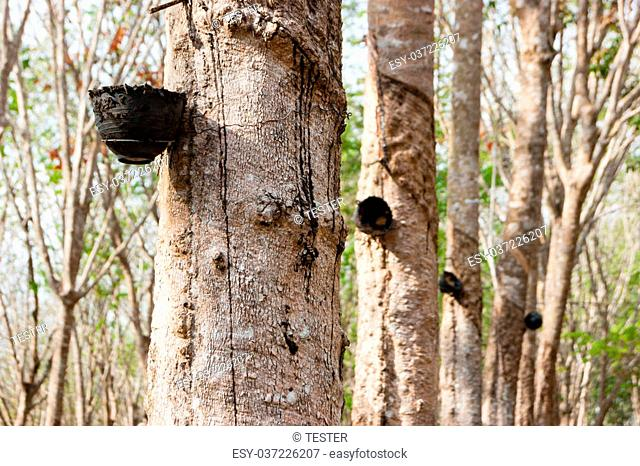 Rubber tree plantation on the island of Phuket, Thailand