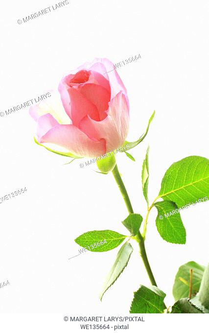 One pink rose on white, close up