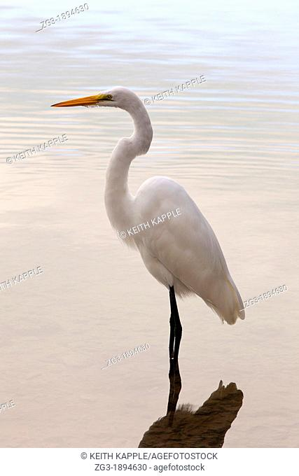 Great White Heron, Ardea occidentalis, posing in the water, Florida Keys, Florida, USA