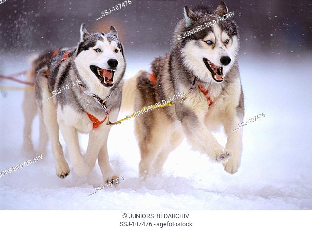 dogs pulling sledge in snow