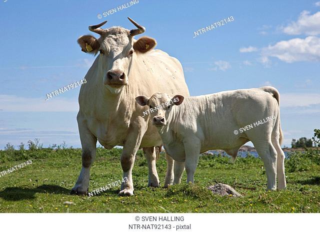 Charolais Cattle on pasture