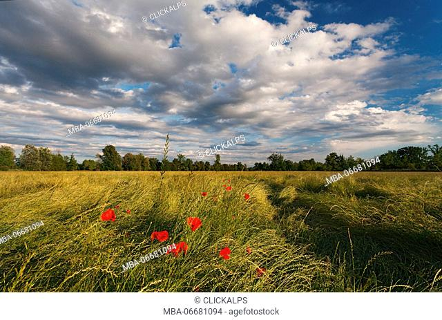 Torre Pallavicina, Oglio north park, Bergamo province, Lombardy, Italy. Poppies field with clouds in Po valley