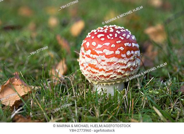 Fly Agaric; Amanita muscaria; Geesthacht; Schleeswig-Holstein; Germany