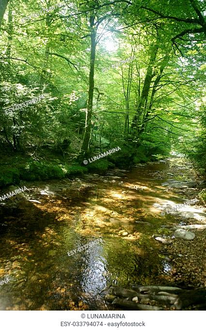 Beech forest trees with river flow under shadows