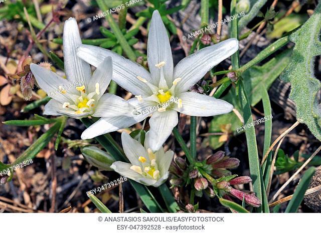Flower of Ornithogalum ssp, probablu O. divergens, Crete