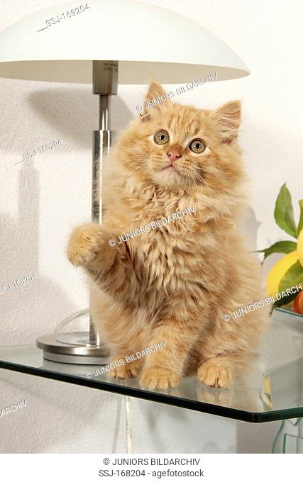 Domestic Cat sitting on a glass table with paw raised