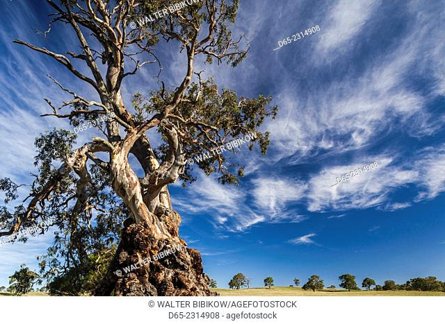 Australia, South Australia, Barossa Valley, Springton, The Herbig Tree, first home of German immigrant Friedrich Herbig, symbol of early South Australian...