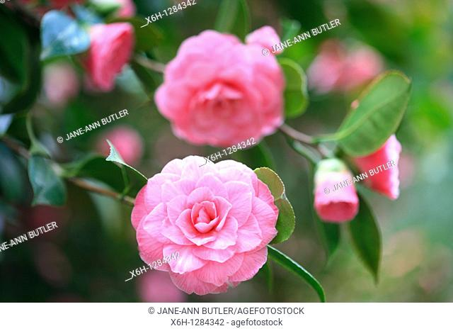 Charming Perfect Pink Camellias