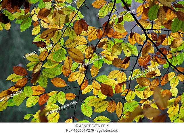 Common beech tree leaves (Fagus sylvatica) turning into colourful autumn colours in deciduous forest