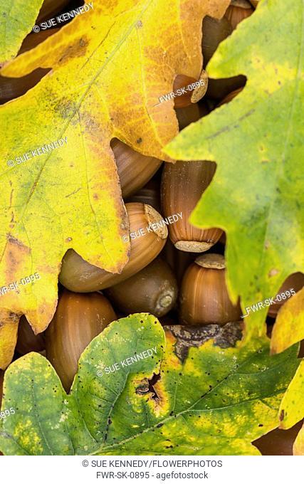 Oak, Common oak, Quercus robur, Autumn leaves covering fallen acorns