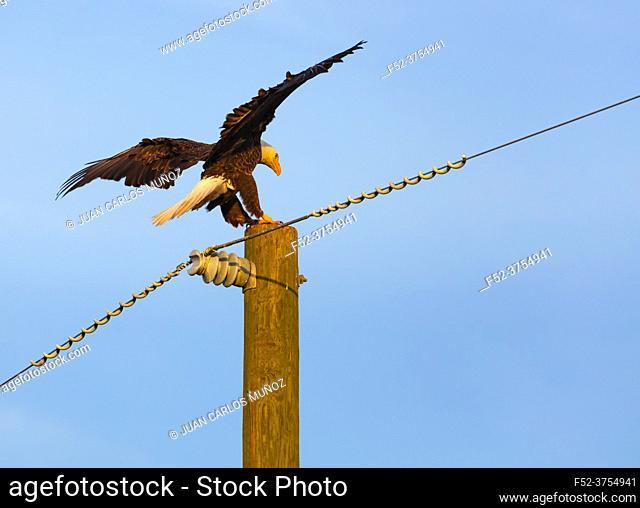 Bald eagle (Haliaeetus leucocephalus), AGUILA CALVA
