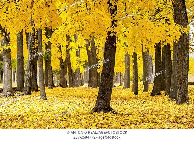 Yellow coloured maples (Acer sp.). Uña, Parque Natural de la Serranía de Cuenca, Cuenca province, Spain