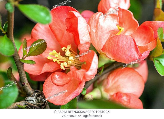 "Flowering quince Chaenomeles superba """"Interpitral"""" in a garden"