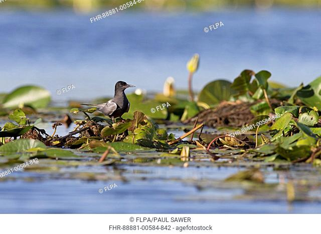 Black Tern (Chlidonias niger) summer plumage adult, standing on waterlily root, Danube Delta, Romania, June