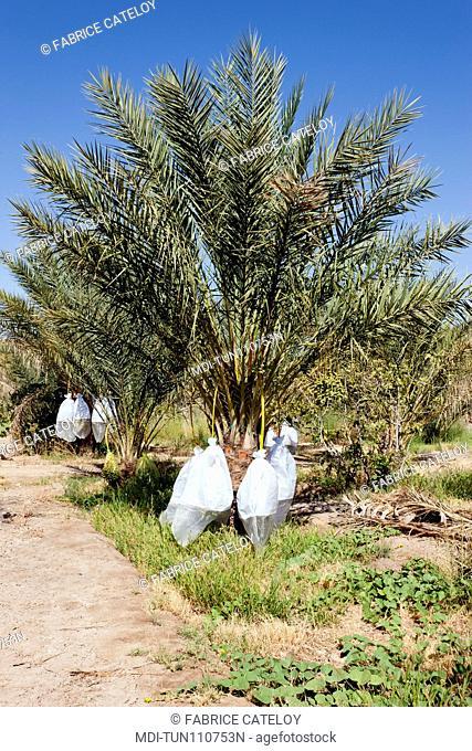 Tunisia - Tozeur - Culture of dates in the palm grove