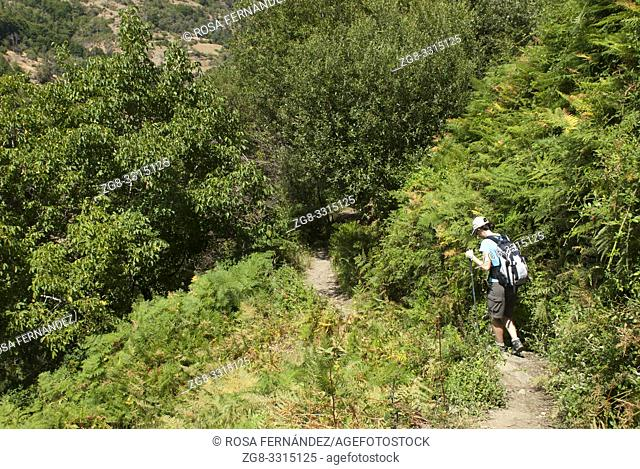 Woman tourist walking along a path in a field covered with dense vegetation formed by bracken ferns, blackberry bushes, willows