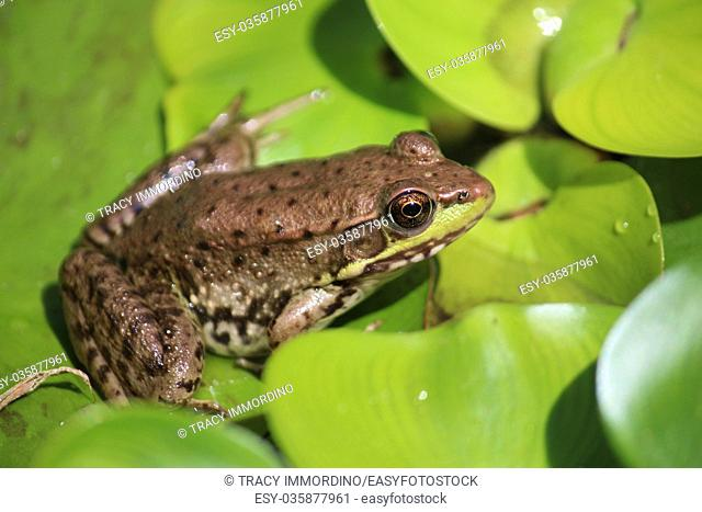 Close up of an American Bullfrog, Lithobates catesbeianus, sitting on a lily pad